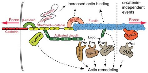 protein f aktin mechanosensitive systems at the cadherin f actin interface