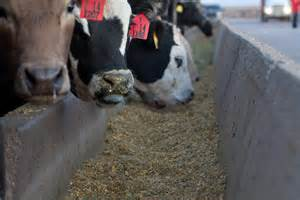 Cow Feed Safety The Of Gmo S In Cattle Feed Facts