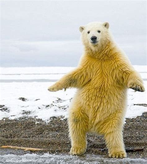 Dancing Polar Bear Meme - dancing bear funny meme picture for facebook