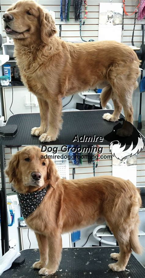 golden retriever grooming styles 186 best images about quot before quot quot after quot grooming photos on japanese