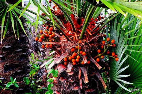 fruit d un palmier les fruits du palmier le de corentin12
