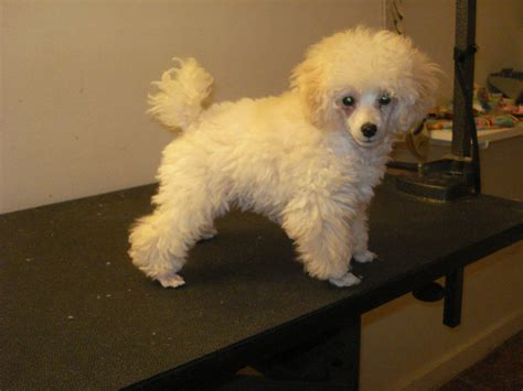 poodle haircuts images toy poodle haircuts ve included a quot before quot and a few