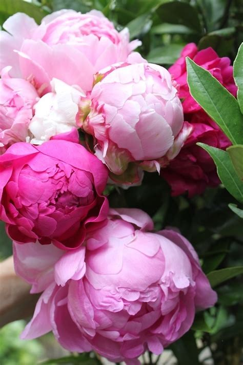 the pink peonies pink peonies pictures photos and images for facebook