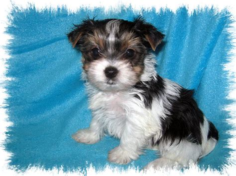akc parti yorkie akc parti terrier puppy for sale in virginia miss scarlet