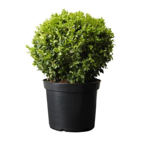 buxus sempervirens in vaso buxus sempervirens pianta da vaso ikea