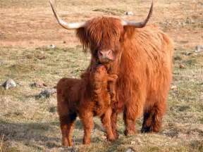 Scottish Highland Cattle » Home Design 2017
