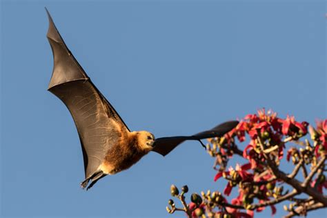 volpe volante australiana 18 000 mauritian flying foxes to cull or to treasure