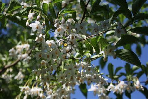 sierkers met witte bloemen finest japanse struik met witte bloemen with japanse