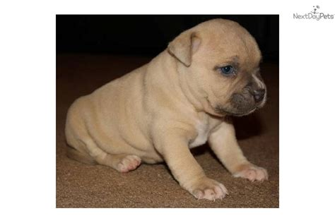 blue fawn pitbull puppies pin cachorros american pitbull blue fawn mercadolibre pictures on