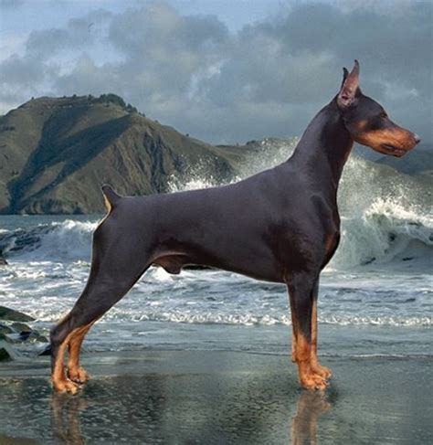 his name was my with a remarkable doberman pinscher books best 25 doberman dogs ideas on doberman