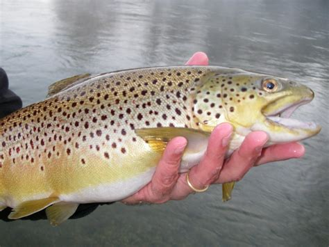 egg pattern brown trout egg patterns for trout and steelhead current works guide