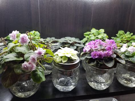 led lights for african violets african violet wick watering and led light setup info in