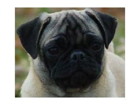 pugs for sale in ct pug puppies in connecticut