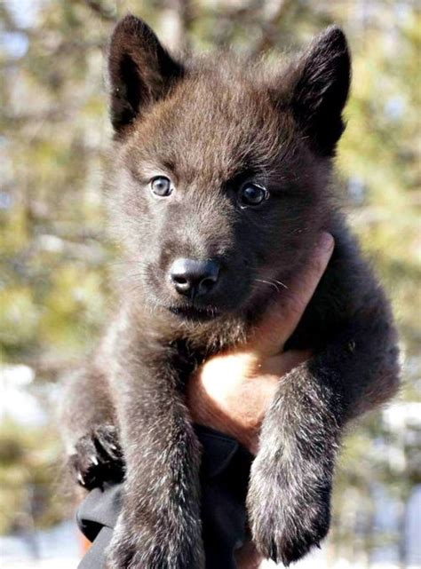 the wolf and the house dog brown wolf pup dog breeds picture