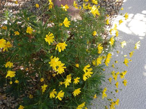 yellow like flower shrub flowers in las vegas travel to eat