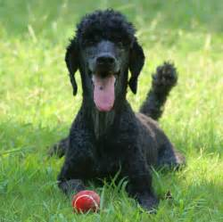Standard poodle everything best dogs