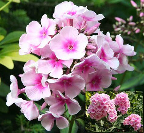 fiori ortensie fiori per l estate ortensie no phlox fiori e foglie