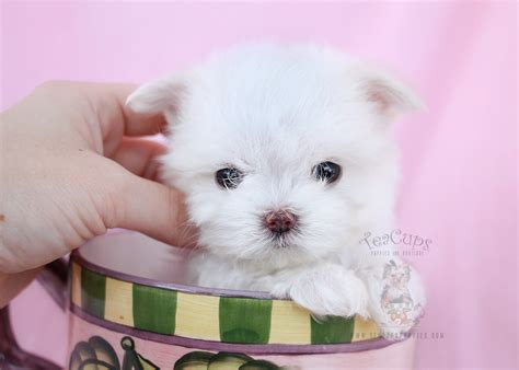 micro teacup maltese puppies for sale maltese puppies south florida teacups puppies boutique