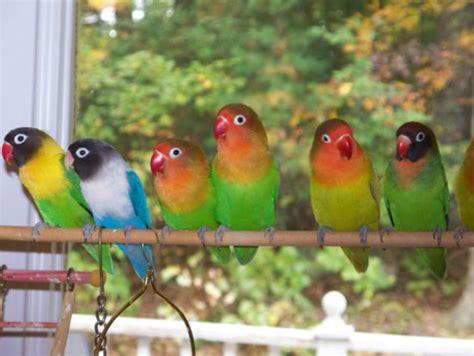 Pakan Branjangan Cepat Gacor 7 tips merawat lovebird harian supaya ngekek panjang