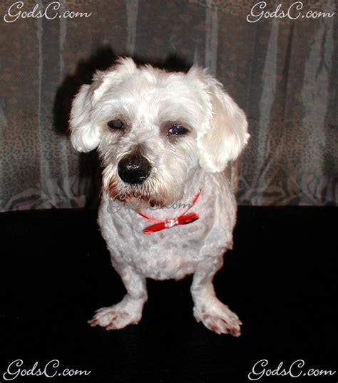 shih tzu gestation period the gallery for gt maltipoo