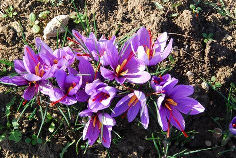 zafferano fiore il fiore di zafferano fra usi e propriet 224 il trifoglio