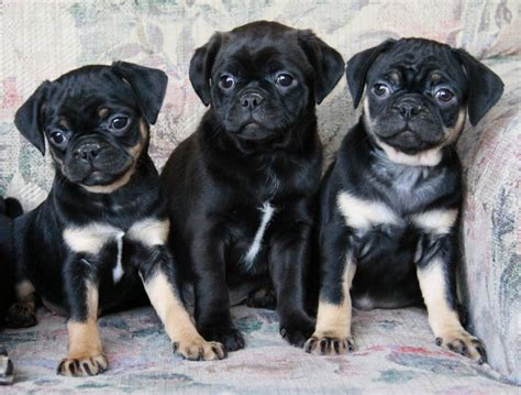 havanese cross pug boston terrier x pug puppies for sale puppies for sale dogs for sale in ontario