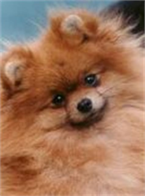 small breed puppies for sale in nashville tn alimentos para perros pomeranian for sale knoxville tn