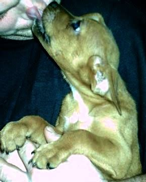 puppies for sale williamsport pa wen2k pitbull puppies for sale mansfield pa corning elmira williamsport area