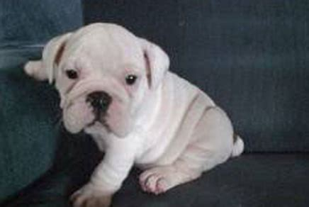 bulldog puppies for sale ny bulldog breed puppies for sale in westchester new york