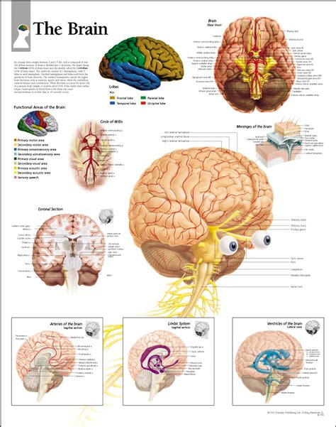 Human Brain Essay by The Brain Paper Scientific Publishing