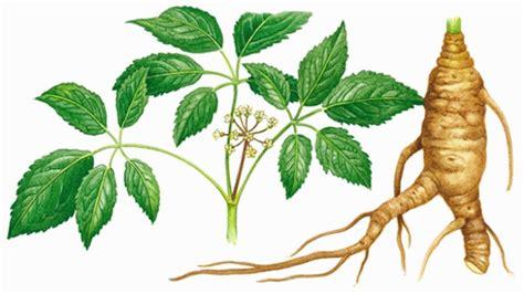 Ginseng Jawa Per Kilo le ginseng une plante aux multiples vertus