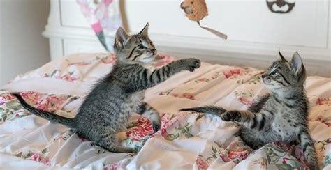 ab wann markieren katzen ab wann spielen katzen