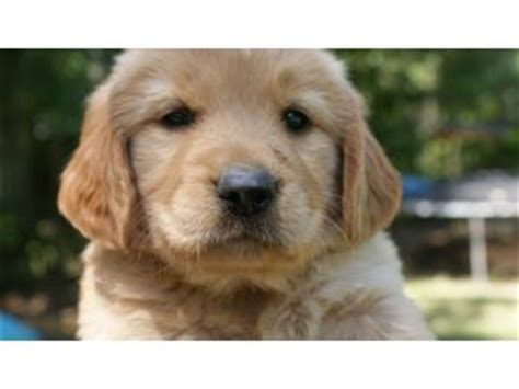 golden retrievers alabama golden retriever puppies for adoption in alabama dogs in our photo