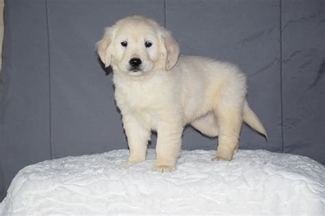 Picture 6 Of 50 Golden Retriever Puppies Adoption Ohio New Akc Registered Golden