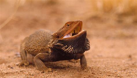 bearded dragon heat l lizard bedding petsmart reptile gallery