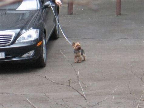 how do their dogs how do lazy walk their dogs 3 pics izismile
