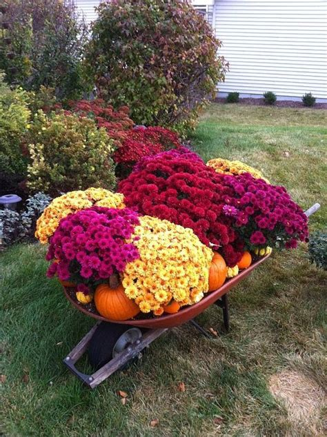 fall garden mums wheelbarrow of mums pumpkins and gourds in front of