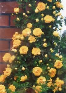 роза плетистая румба фото