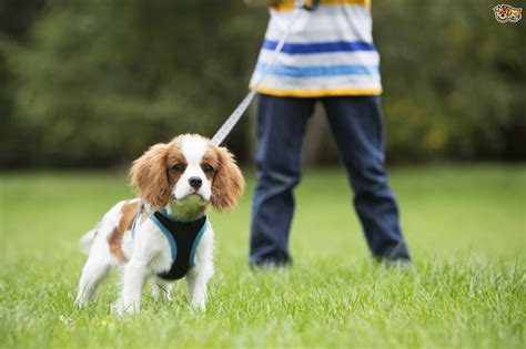 how to your puppy to walk on a leash how to teach the to walk your nicely pets4homes