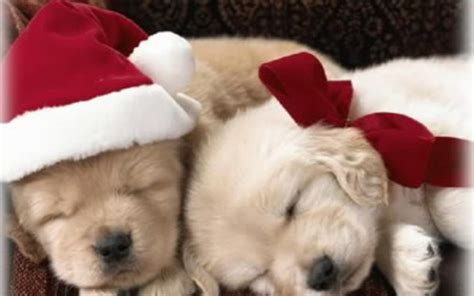 puppies images christmas puppy hd wallpaper and background