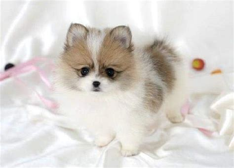 pomeranian husky puppy 25 best ideas about teacup pomeranian husky on pomeranian husky puppies
