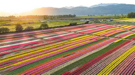 ribbons  colour   high  abbotsford tulip