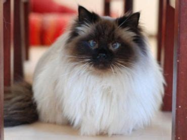 ragdoll vs ragdoll birman cats vs ragdoll about animals