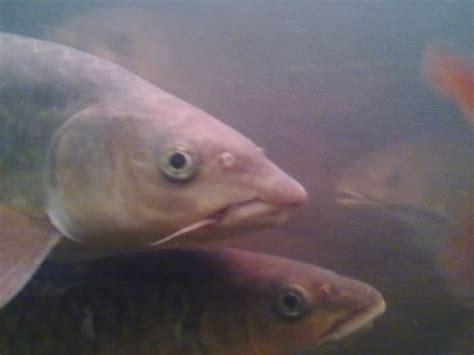 ikan kelah portal berita eksklusif ikan kelah dan malaysian mahseer or kelah koleksi gambar ikan kelah