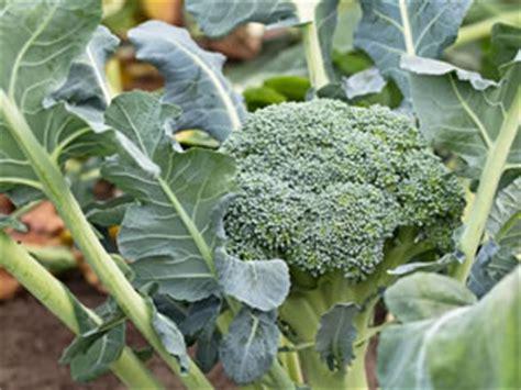 Brokkoli Broccoli Anbau Und Pflege