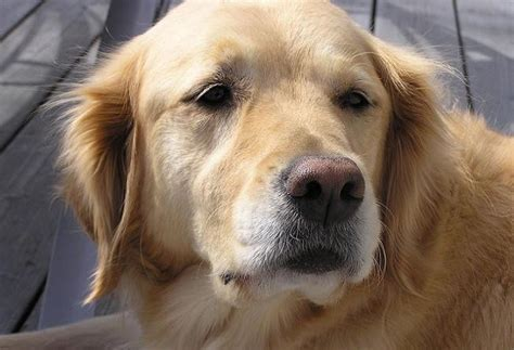 golden retriever hair loss problem 10 reasons not to spay and neuter a until after puberty