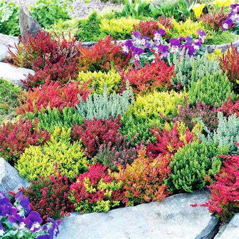 heather plant calluna vulgaris bing images