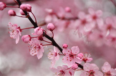 Lovely Cherry Blossom #6801267