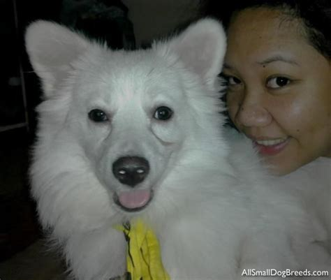 Do Japanese Spitz Shed by 17 Best Images About Japanese Spitz Dogs On