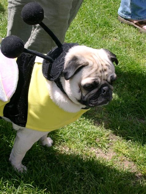pug bee costume costume archives about pug